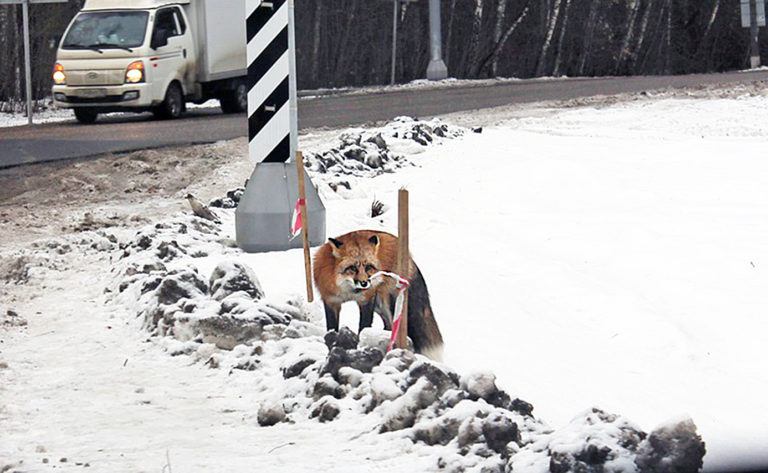 Карантин по бешенству животных установили в деревне Волоколамского района
