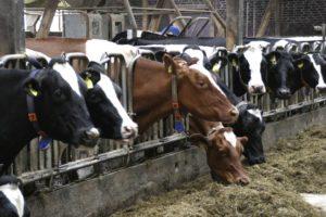 Молочный комплекс TH True Milk будет запущен 31 января